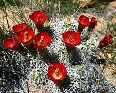 Echinocereus Triglochidiatus Hedgehog Cactus Poster by Gary Whitton