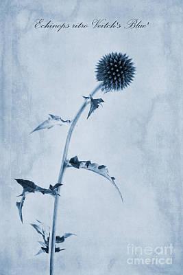 Echinops Ritro 'veitch's Blue' Cyanotype Poster