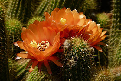 Echinopsis Huascha Cactus Trio Poster by Cindy McDaniel