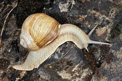 Edible Snail Poster