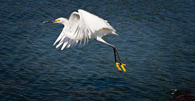 Poster featuring the photograph Egret Aloft by Janis Knight