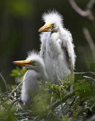 Egret Chicks 11x14 Poster