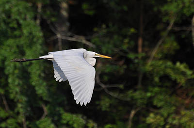 Egret Fly By  - Egfbc2732d Poster by Paul Lyndon Phillips