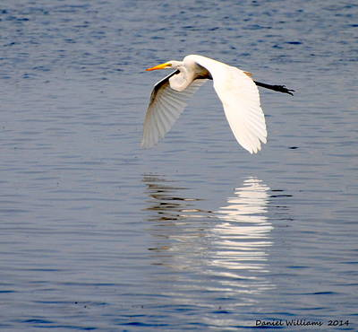 Egret Flying At Harkers Island Poster