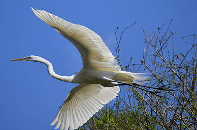 Poster featuring the photograph Egret Flying by Judith Morris