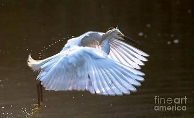 Egret In Flight II Poster