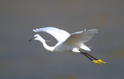 Egret In Flight Kenya Africa Poster by Panoramic Images