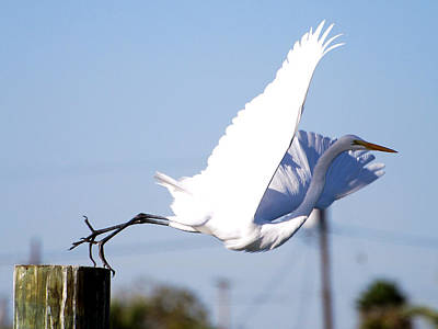Poster featuring the photograph Egret In Flight by Linda Cox