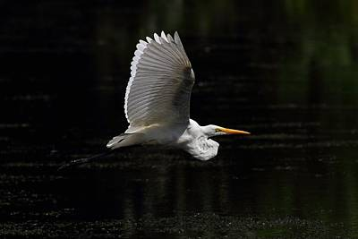 Egret In Flight Poster