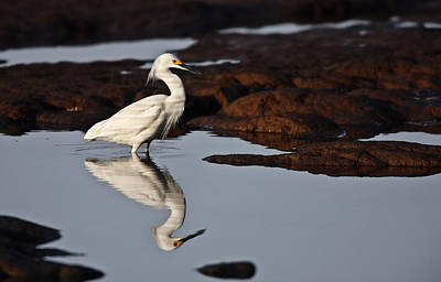 Poster featuring the photograph Egret In Tide Pool  Mg_9631 by David Orias