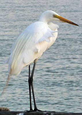 Poster featuring the photograph Egret by John Collins