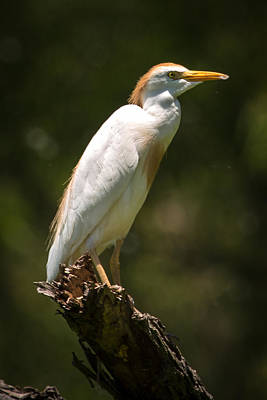 Cattle Egret Perched On Dead Branch Poster