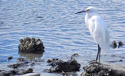 Egret Standing Perfectly Still Poster by Patricia Greer