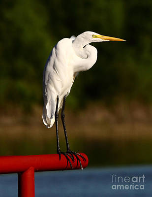 Egret With Knot In Neck Poster by Robert Frederick