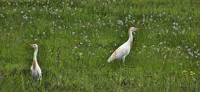Egrets In Field Poster