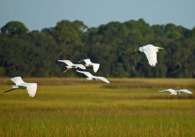 Egrets In Flight On Jekyll Island Poster by Bruce Gourley