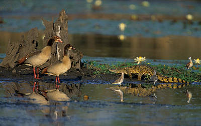 Egyptian Geese And Crocodile Poster by Nigel Dennis