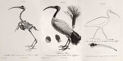Egyptian Ibis, Cuvier Plates, 1812 Poster