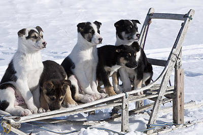 Eight Week Old Iditarod Husky Pups Sit Poster