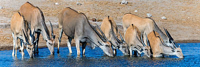 Elands At Waterhole, Etosha National Poster by Panoramic Images