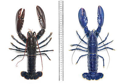 Electric-blue European Lobster Poster by Natural History Museum, London
