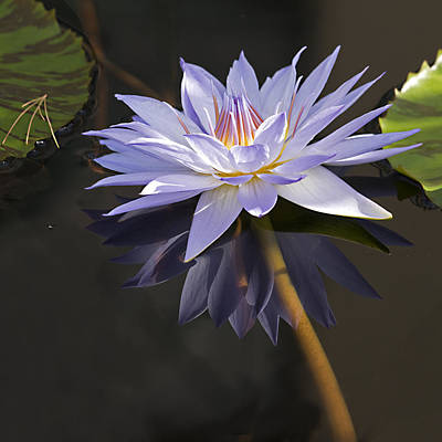 Electric Blue Pond Lilly Poster