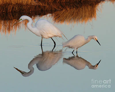 Elegant Big And Small Great White And Snowy Egrets Poster