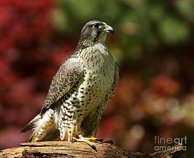 Elegant By Nature Gyrfalcon Poster