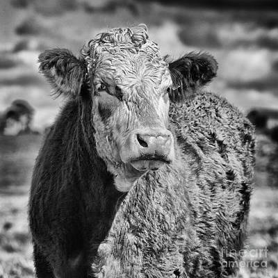 Elegant Cow Poster