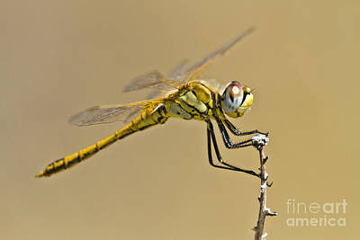 Elegant Dragonfly Poster by Heiko Koehrer-Wagner