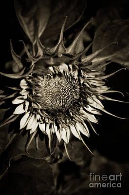 Elegant Sunflower Poster by Venetta Archer