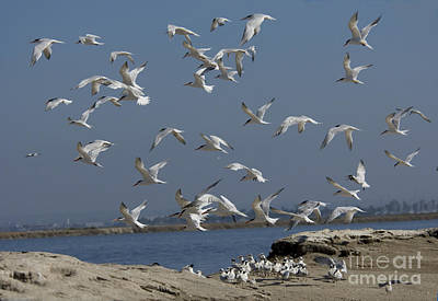 Elegant Terns Protect Creche Poster