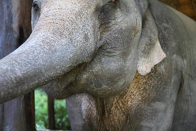 Elephant At Maesa Elephant Camp - Chiang Mai Thailand - 01137 Poster