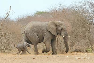 Elephant Calf And Dad Poster by Hermanus A Alberts