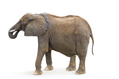 Poster featuring the photograph Elephant by Charles Beeler