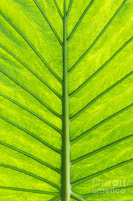 Elephant Ear Taro Leaf Pattern Poster by Tim Gainey
