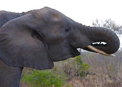 Elephant Having A Drink Poster
