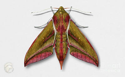 Elephant Hawk Moth Butterfly - Deilephila Elpenor Naturalistic Painting - Nettersheim Eifel Poster by Urft Valley Art