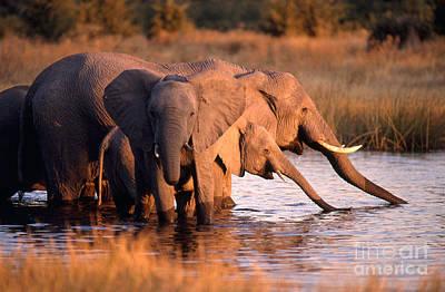 Elephant Herd Drinking Poster