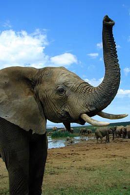 Elephant Posing Poster