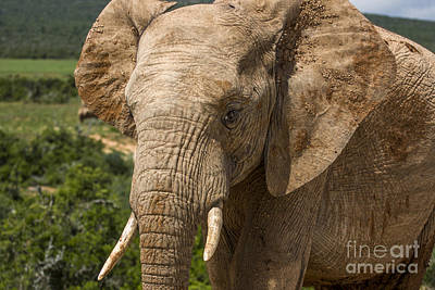 Elephant Profile Poster