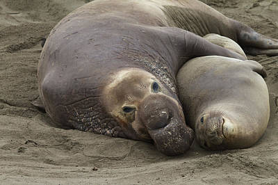 Elephant Seal Couple Poster
