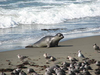 Poster featuring the photograph Elephant Seal On Piedras Blancas Beach by Jan Cipolla