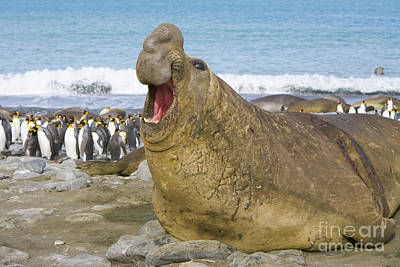 Elephant Seal Roaring Poster by Yva Momatiuk John Eastcott