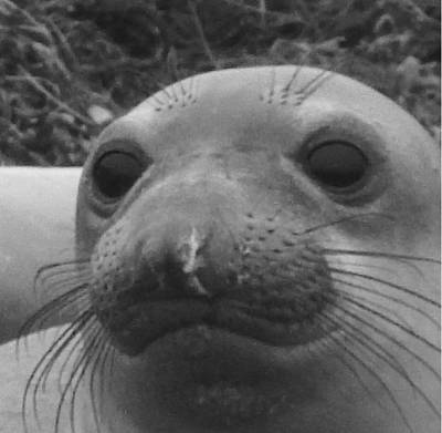 Elephant Seal Smirk Poster