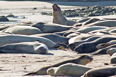 Elephant Seals At Ano Nuevo State Park California Poster