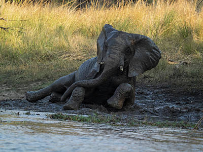 Elephant Taking Mud Bath, Zambezi Poster