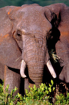 Elephant Tanzania Africa Poster by Panoramic Images