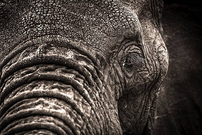 Elephant's Eye Poster by Tim Booth