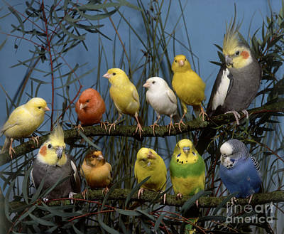 Eleven Parakeets Budgies Poster by Hans Reinhard